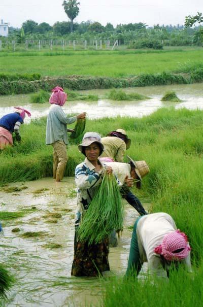 rizière de madagascar 4