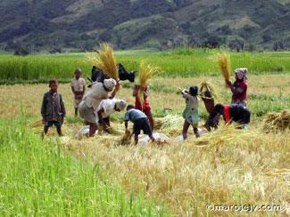 rizière de madagascar 5