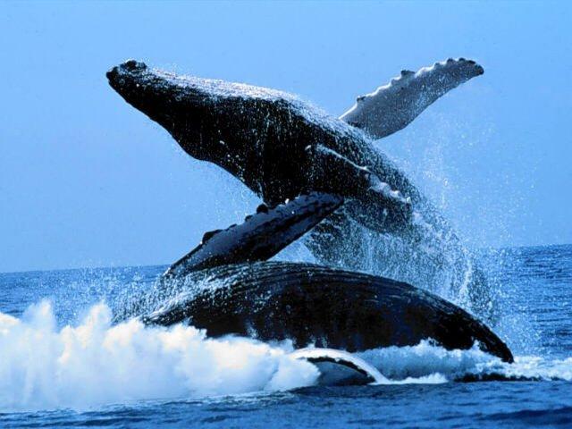 A la rencontre des baleines à bosse, mer de Nosy Be, Madagascar
