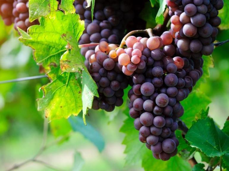 Les raisins, bon allié de la cure detox d'automne