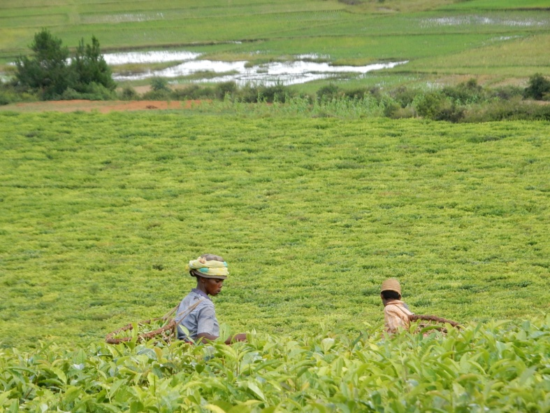 plantation de thé à Sahambavy.jpg