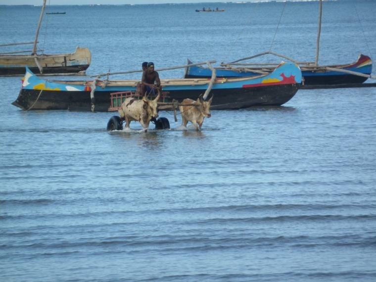 charrettes à zébus sur la mer tuléar