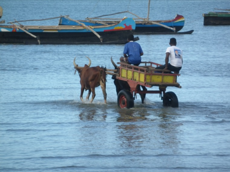 charrettes à zébus sur la mer tuléar3