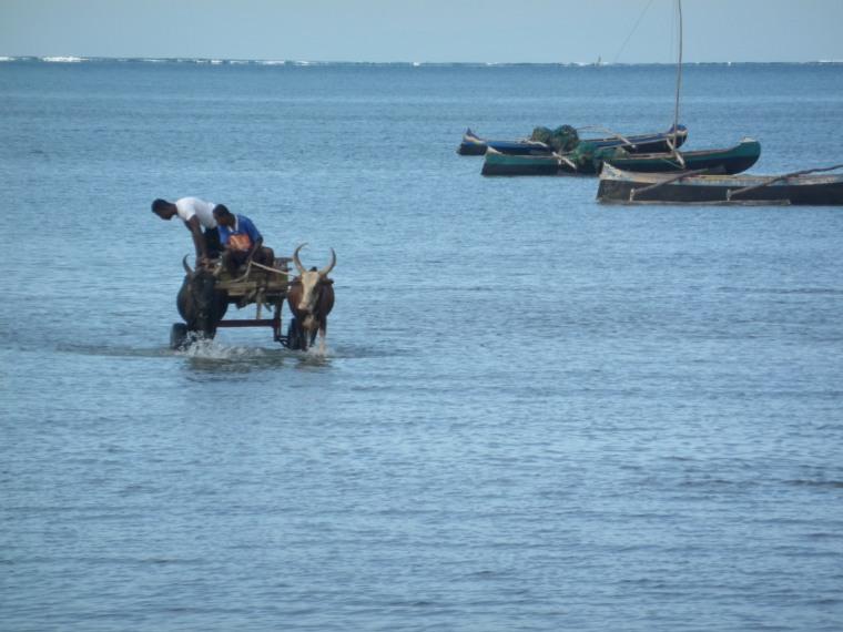 charrettes à zébus sur la mer tuléar4